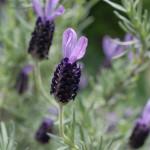フレンチラベンダー French lavender